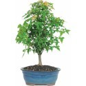 Deals List: Trident Maple Bonsai Tree