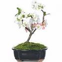 Deals List: Pomegranate Bonsai Tree
