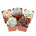 Deals List: 5-Pack The Next Gardener Assorted Rosettes Succulent Plants