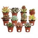 Deals List: 11-Pack Costa Farms Unique Succulents Indoor Plants 2-In Tall