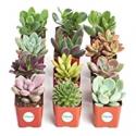 Deals List: Shop Succulents   Unique Collection of Live Succulent Plants, Hand Selected Variety Pack of Mini Succulents   Collection of 12