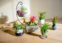 Deals List: 6-Pack Plants for Pets Live Low-Light Air Plants Indoor Tropical Tillandsia Houseplant Kit
