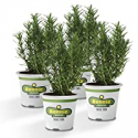 Deals List: 4-Pack Bonnie Plants Rosemary Live Edible Aromatic Herb Plant