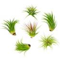 Deals List: 6 Plants for Pets Lowlight Air Plant Pack