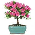 Deals List: Brussels Bonsai Live Satsuki Azalea Bonsai Tree 5-yr Old